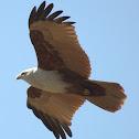 Brahminy kite In Flight