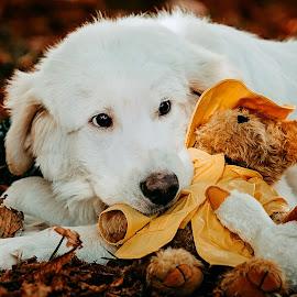 best friends by Krisztina Ajtai - Animals - Dogs Portraits ( retriever, puppy, animal, sick, dog, teddybear,  )