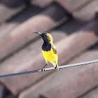 Olive - backed sunbird