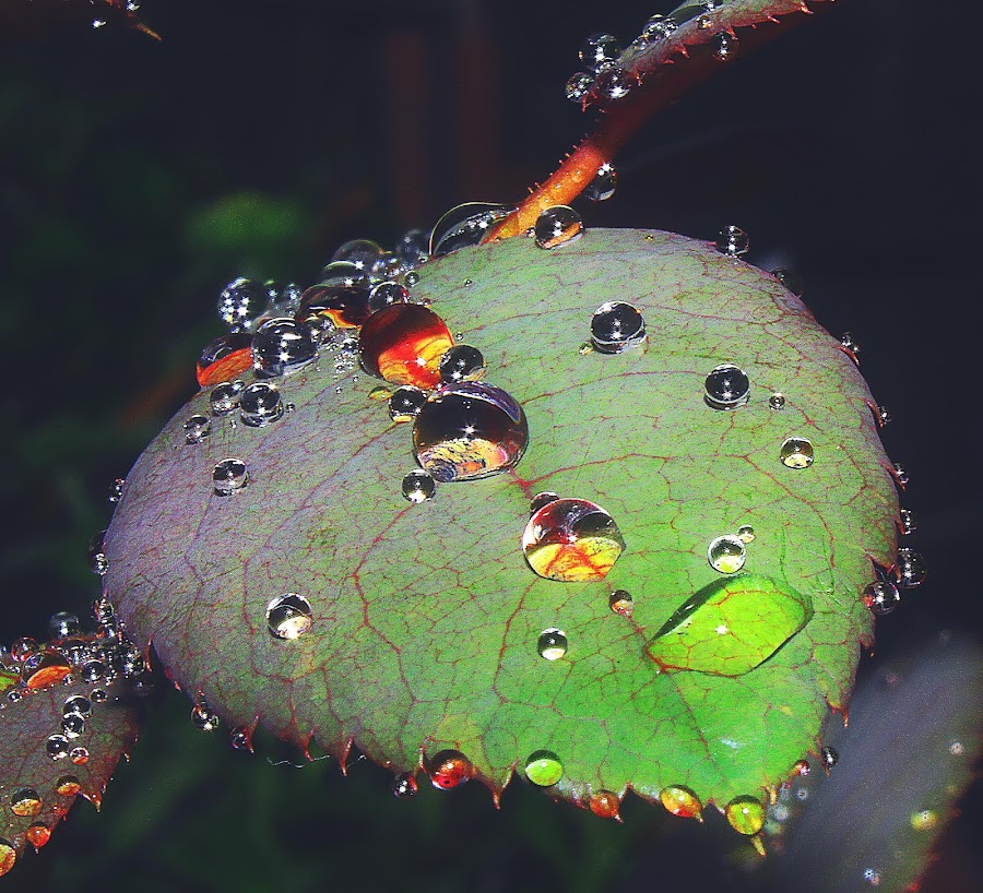 rose leaf by Capucino Julio - Nature Up Close Leaves & Grasses ( after, rose, nature, droplet, leaf, rain, and )