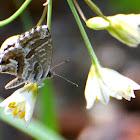 Geranium Bronze; Mariposa del Geranio