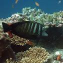 Desjardin's sailfin tang