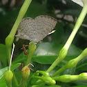 Apefly