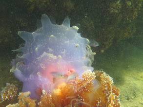 Photo: A jelly with cardinalfish (Apogonidae) (?)