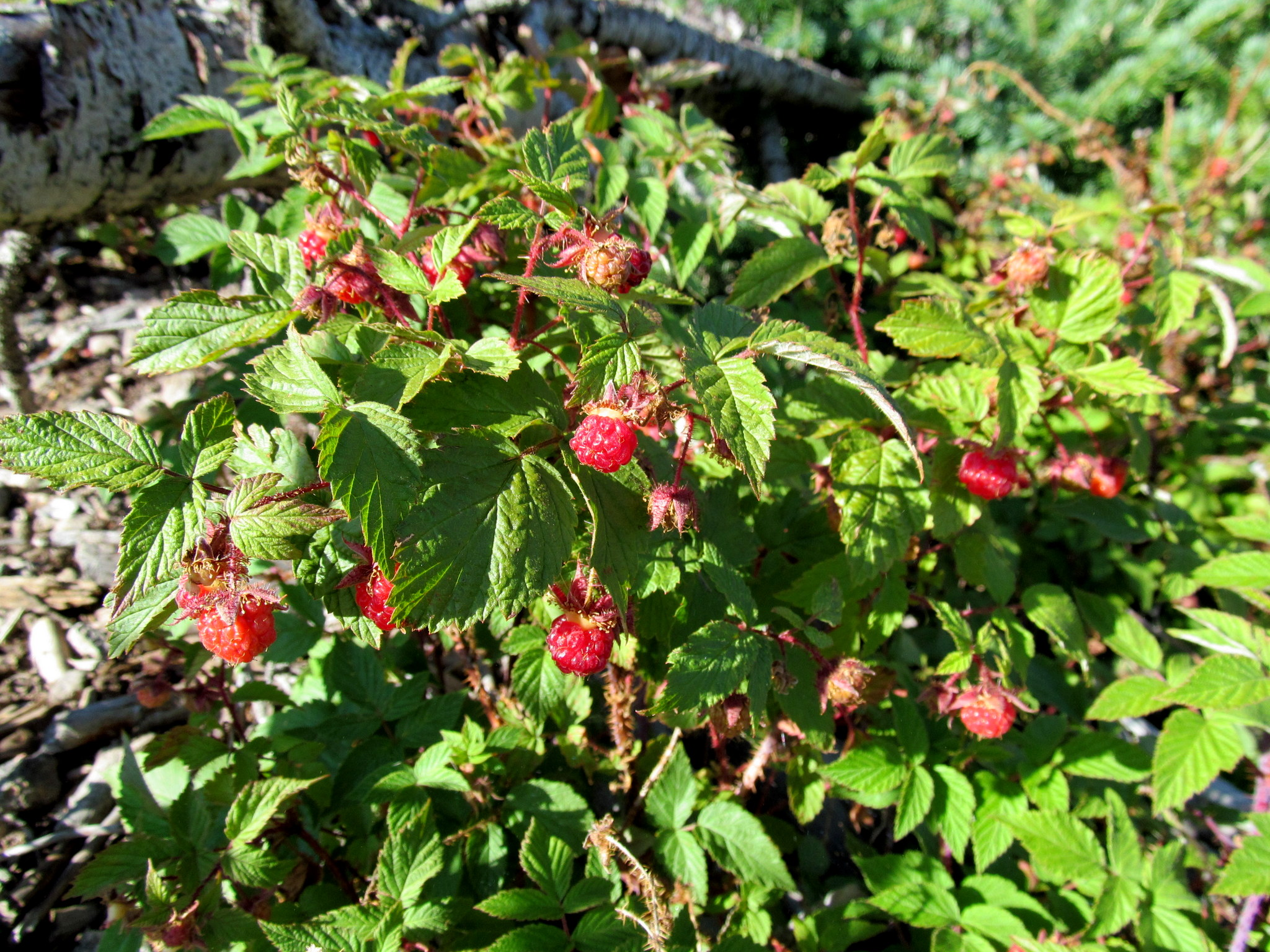 Photo: Wild raspberries