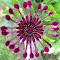 purple-spider-daisy.jpg