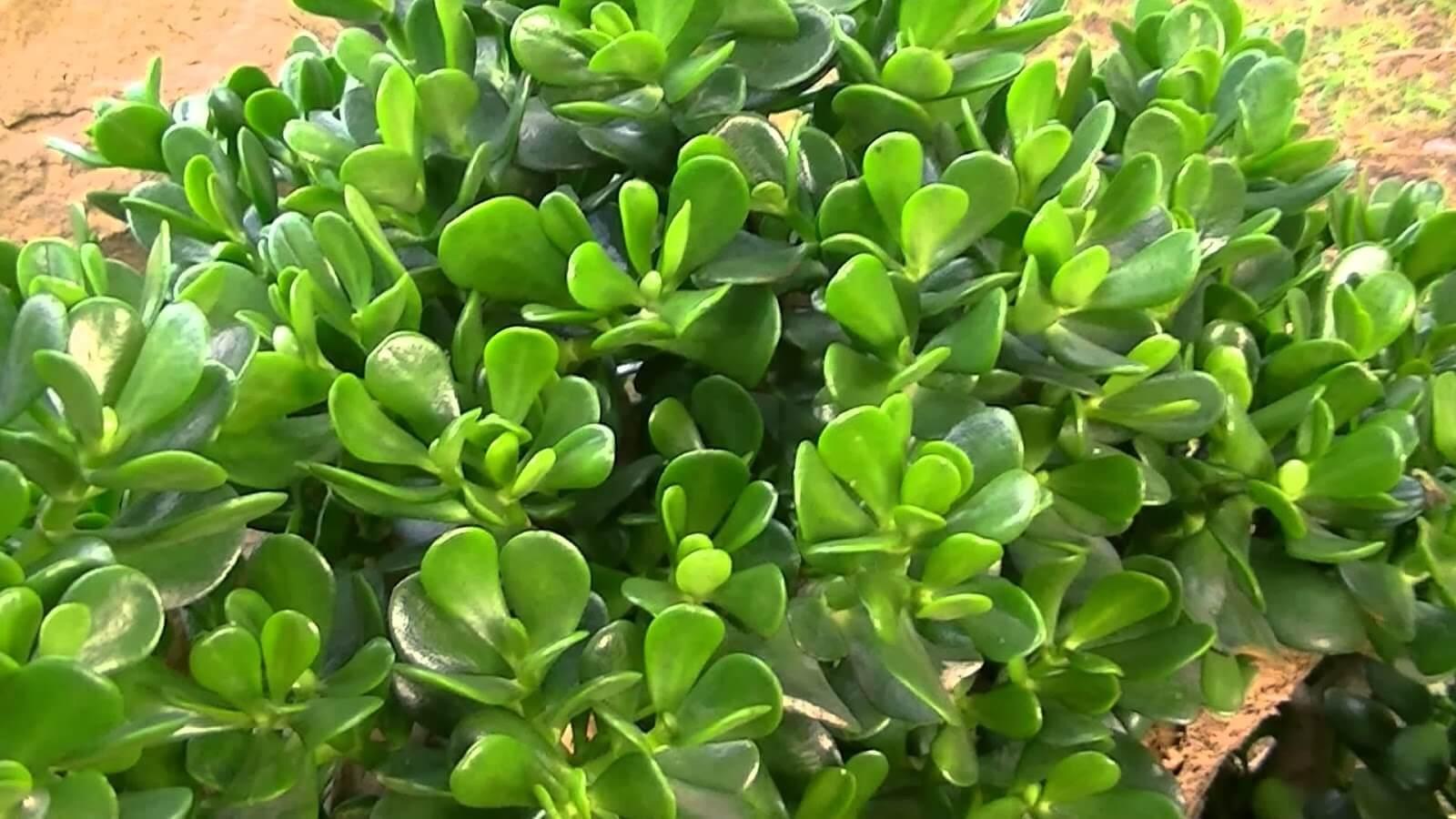 Cuidados Planta de Jade