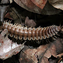 Tractor or Flat-backed Millipede
