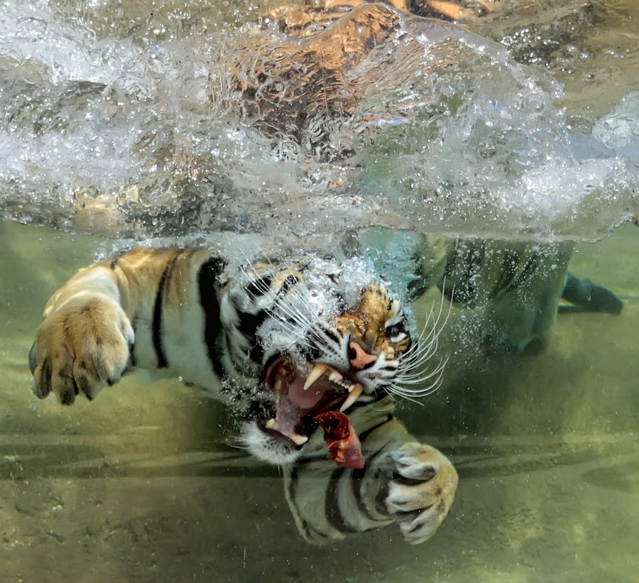 Gourmet Snack  by Asinthia Marshall - Animals Lions, Tigers & Big Cats ( water, tiger, feed, bengal, teeth )