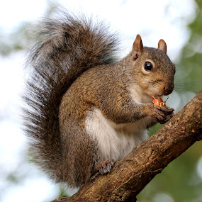 Squirrel in Tree by Mike Vaughn - Animals Other Mammals ( squirrel,  )