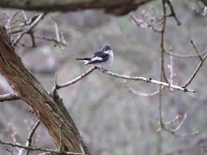 Photo: The Wrekin And a male Pied Flycatcher. This bird shows no white patch on the forehead which suggests it is probably a first-summer bird. (Ed Wilson)