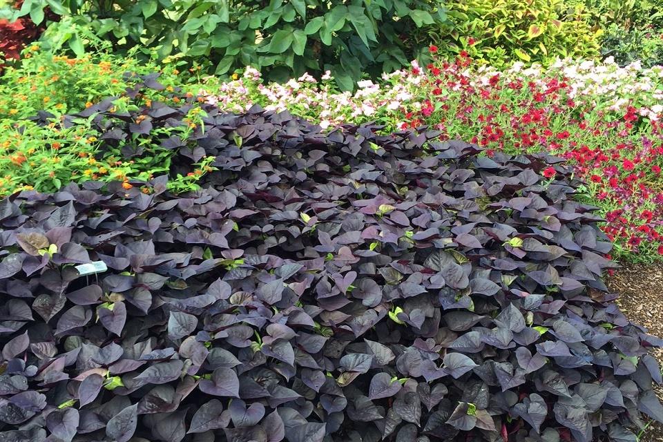 sweet potato vine dog friendly plants