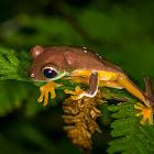 Gliding Tree Frog (juvenile)
