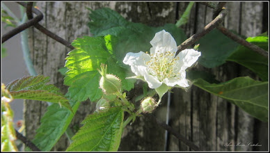Photo: Zmeur (Rubus idaeus)  - de pe Str. Macilor - 2017.06.11
