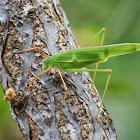 Bush Cricket/Katydid