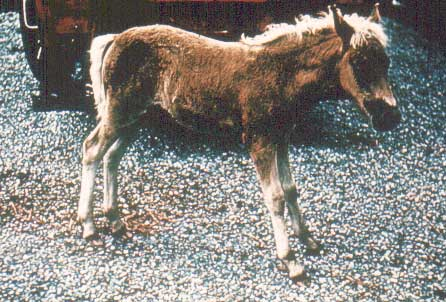 Saw-horse stance of foal with tetanus.