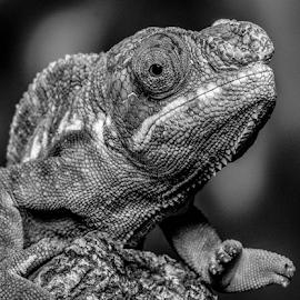 Chameleon by Garry Chisholm - Black & White Animals ( macro, nature, panther chameleon, reptile, lizard, garry chisholm )