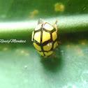 Yellow pentagonal spot Ladybug