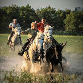 Chasing the Camargue bulls 1 by Helen Matten - Sports & Fitness Other Sports ( water, of, marshes, bulls, cowboys, guardians, south, france, french, black, herding )
