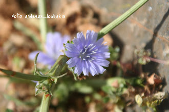 Photo: Κιχώριο το αντίδι (ραδίκι).  Cichorium Intybus  ΠΙΝΕΣ ΕΛΟΥΝΤΑΣ Ενδημικό, πολυετές, ποώδες φυτό της ευρασίας που πλέον «κυκλοφορεί» σε ολόκληρο τον κόσμο. Πολύ κοινό φυτό, θα το βρούμε σχεδόν παντού, από χέρσους τόπους και λιβάδια μέχρι τις άκρες των δρόμων. Έχει μακριά χοντρή, πασσαλώδη ρίζα (δηλ. αναπτύσσεται κατακόρυφα) και στέλεχος όρθιο, σκληρό που διακλαδίζετε, το δε ύψος του μπορεί να φτάσει και το ένα μέτρο ή και περισσότερο. Τα φύλλα στη βάση του είναι μεγάλα πτεροειδή με λοβούς ενώ τα ανώτερα είναι λογχοειδή. Τα άνθη του έχουν ένα υπέροχο γαλάζιο χρώμα, είναι ερμαφρόδιτα, βγαίνουν το καλοκαίρι και κρατάνε μόνο μια μέρα.