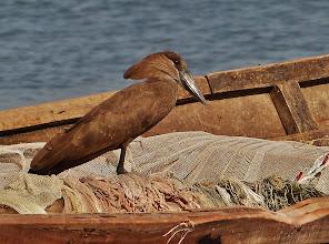 Photo: Vögel am Viktoriasee: Hammerkopf (Scopus umbretta, Hamerkop)