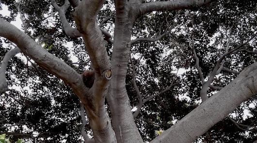 'Desde mi ventana': Árboles callejeros