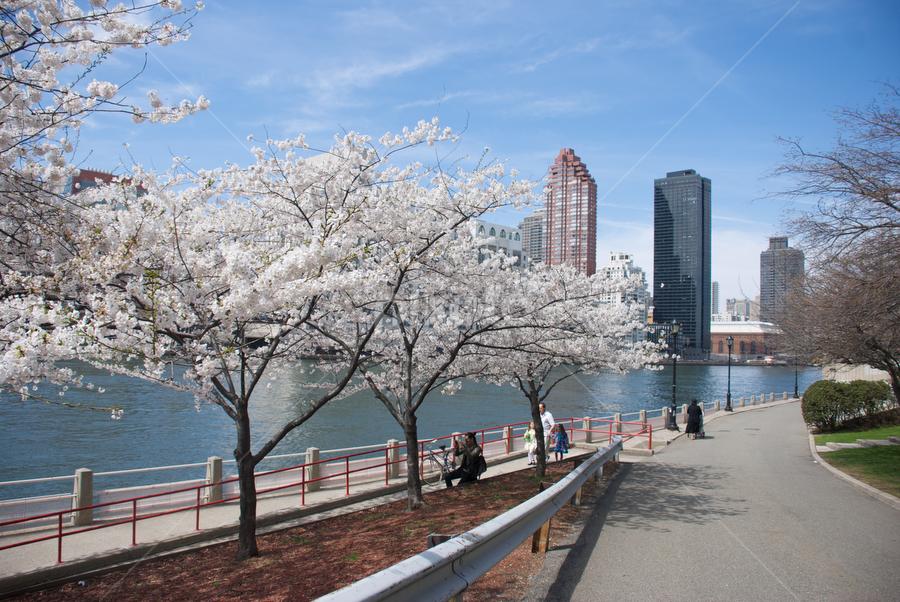 roosevelt island by Sameer Kermalli - City,  Street & Park  Street Scenes ( roosevelt island, street, quiet, people, newyork, cherry blossoms )
