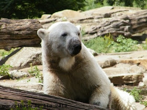 Photo: Knut verschwindet damit hinter dem Baum...