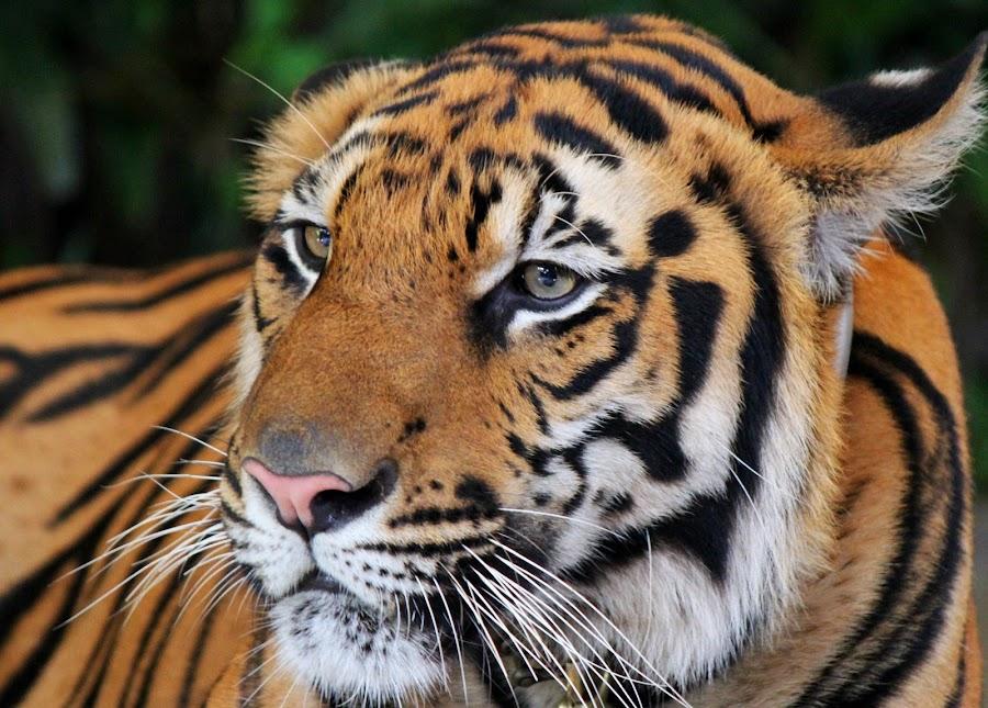 by Kosmas Jang - Animals Lions, Tigers & Big Cats