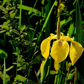 Water Iris, Secret Pond by Campbell McCubbin - Flowers Flowers in the Wild ( water iris, pond, iris, green, yellow )