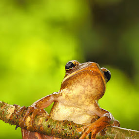 relax for a moment by Lessy Sebastian - Animals Amphibians ( tree, nature, relax, frog, amphibia )