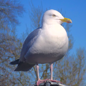 ' Smart ' Gull...!  by Ian Cormack - Animals Birds