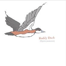 Photo: Rudy Duck study