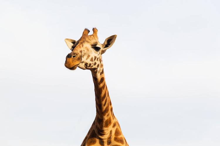 giraffe kick kills worker at game lodge in limpopo
