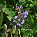 Bluish Bloomrape