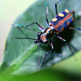 Tiger beetle by Jurugambar Perkahwinan - Animals Insects & Spiders ( tiger beetle, coloufull, tiger, beetle )