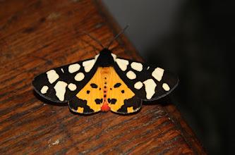 Photo: Epicallia villica      Lepidoptera > Erebidae