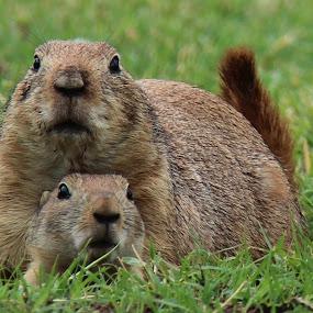 Prairie dog by Debbie Duggar - Animals Other Mammals