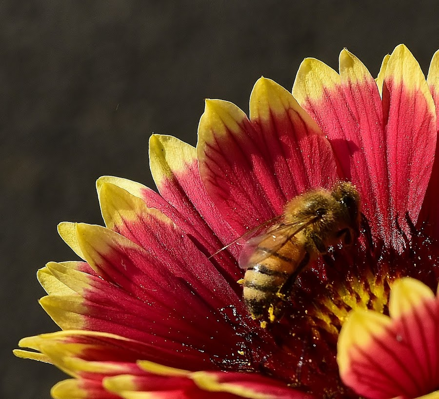 Honey bee. by Denton Thaves - Flowers Single Flower ( pollinator )