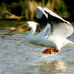 pelicanflyingmay2015.jpg