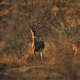 Where's the Doe? by Benito Flores Jr - Animals Other ( deer, brush, sunset, texas, trees, park, group )