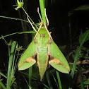 Leafy Sphinx Moth