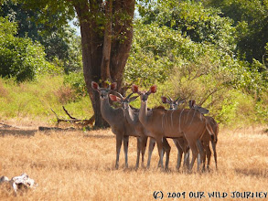 Photo: Rodina antilopy Kudu / Kudu antelope family