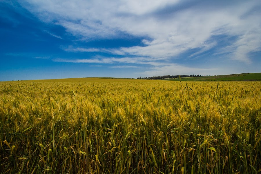Barley fiels by Ilan Abiri - Landscapes Prairies, Meadows & Fields ( nature, landscape, barley field, spring, israel vally )