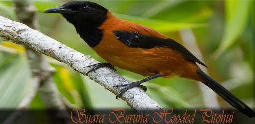 Descargar Suara Burung Hooded Pitohui Para Pc Gratis Ultima Version Com Hafizapps Burunghoodedpitohuiterbaru