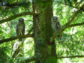 Photo: Barred Owlets