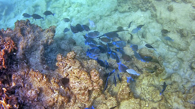 Photo: A FEW HIGHIGHTS: Schools of Blue Tang are common throughout.