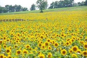 7月の4「黄蘗色」