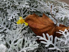 Photo: Jacobaea maritima (formerly Senecio cineraria)