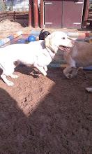 Photo: Diesel, Laika, Loena en Nacy vermaken zich uitstekend met rennen, balletje gooien en zwemmen!!!